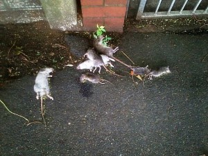 These are the rats that were placed near the Residence, it is believed to be placed by students. Pictures by Neo Goba